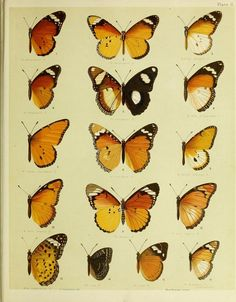 Giclee Print: Papillons de L'Europe II by Vision Studio : Cool Artwork, Framed Artwork, Ocean Crafts, Vintage Butterfly, Natural World, Picture Wall, Find Art, Giclee Print, Graphic Art