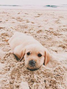 cute puppies golden retriever the beach * puppies on beach puppies at the beach beach puppies cute puppies at the beach cute puppies beach german shepherd puppies beach cute puppies golden retriever the beach cute puppies on beach Super Cute Puppies, Cute Baby Dogs, Cute Little Puppies, Cute Dogs And Puppies, Cute Little Animals, Cute Funny Animals, Doggies, Bulldog Puppies, Funny Dogs