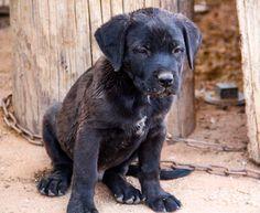 www.elitek-9.com  #bandogge, #protectiondogs, #CEO, #militaryk9, #exotics #vonriesig American Bandogge Mastiff, Executive Protection, Working Dogs, Dog Training, Labrador Retriever, Animals, Labrador Retrievers, Animais, Animales