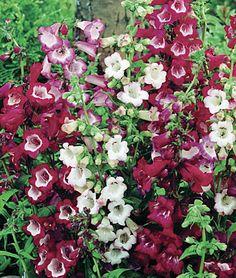 Esprit Penstemon Seeds and Plants, Perennial Flowers at Burpee.com