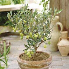 Олива, или оливковое дерево – представитель семейства Маслиновые. В Средиземноморском регионе, на Южном берегу Крыма, на юге России и в