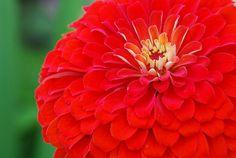 Zinnia ~ Benary's Giant Red   by stevetoearth