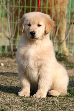 Clear-sighted calculated obedience training doggies check out here Puppies And Kitties, Cute Puppies, Cute Dogs, Doggies, Retriever Puppy, Golden Retriever Mix, Golden Retrievers, Beautiful Dogs, Animals Beautiful