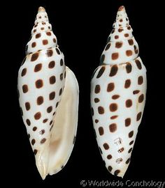 This is the Junonia Shell and it is one of the rarest sea shells to find, and on every sea shell collectors top find list including mine!!!