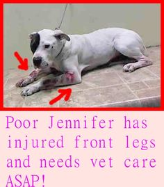 SUPER URGENT 03/31/15 Brooklyn Center JENNIFER - A1031792 SPAYED FEMALE, WHITE / BROWN, PIT BULL MIX, 3 yrs STRAY - ONHOLDHERE, HOLD FOR ID Reason STRAY Intake condition INJ SEVERE Intake Date 03/31/2015 https://www.facebook.com/Urgentdeathrowdogs/photos/pb.152876678058553.-2207520000.1428096439./986224218057124/?type=3&theater