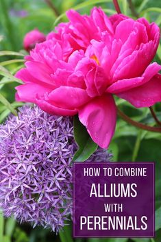 Garden designers love using Alliums and it& easy to see why. Read on to see some creative ways that alliums are being paired with perennials Garden Drawing, Flower Garden Design, Garden Bulbs, Garden Signs, Garden Planning, Planting Flowers, Flower Gardening, Allium Flowers, Shade Flowers