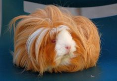 Ginger pig?