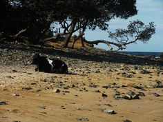 Cow on Beach, Coffee Bay, South Africa My Land, Bay Area, South Africa, Cow, Hiking, Mountains, Coffee, World, Beach