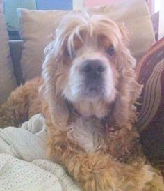 Joe Cocker is 7 – 9 years old.  He weighs about  33 pounds.   He has great house manners and gets along with other dogs.  He is currently living with 2 cats, but does like to bark at them.  Joe is enjoying his foster mom's huge fenced in...