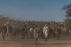 Page of Kutch Diary. A fine morning in Kutch. . #Kutch #herd #animals #dawn #morning #goldenhour #bbctravel #natgeo #natgeotravel #gujarat #summer #photography #pictureoftheday #picoftheday #happiness #travel #outdoors #rabari #Shepard #photostory #rabari #tribe #culture #dusk #travel #withmanish