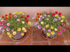 How to grow-Table Rose-Moss Rose-Portulaca Grandiflora-Japanese rose-sun rose Portulaca Flowers, Portulaca Grandiflora, Petunias, Growing Moss, Plants For Hanging Baskets, Fall Containers, Rose Care, Planting Roses, Types Of Flowers