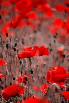 Red Poppies • catheygold