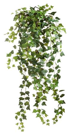 Ivy 001 - Clear Cut PNG by Travail-de-lame on deviantART:
