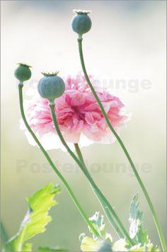 Rosa Mohnblumen Impressionen in Pastell Bilder: Poster von Tanja Riedel bei Posterlounge.de