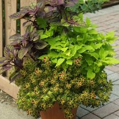 496099715174974107 as well 123637952245131320 likewise Brunsvold further Landscaping With Petunias moreover 127719339403889668. on 4 ways design coleus