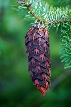 Oregon Pine Cone    Love the detail.
