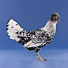 Appenzeller Spitzhauben from My Pet Chicken