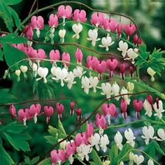 Old-Fashioned Bleeding Hearts