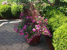 Patio Pot- tall variegated red fountain grass, pink verbena, pink superbells (calibrachoa)