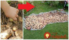 Minulý rok sme vysadili zemiaky v júli na chalupe podľa tejto metódy a úroda bola fantastická. Môžete to vyskúšať ako taký malý experiment, ale ide o naozaj skvelú metódu. Žiadne namáhavé sadenie, okopávanie, pretrhávanie buriny. Všetko odpadá a zemiaky si rastú doslova samé od seba. Zemiaky sa len prikryjú a nechajú tak. Ako na to?... Picnic Blanket, Outdoor Blanket, Raised Beds, Stepping Stones, Outdoor Decor, Gardening, Home Decor, Vegetable Garden, Gardens