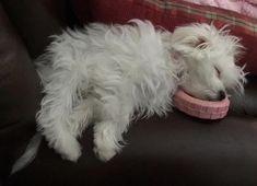 5 More Minutes Puppin #maltese