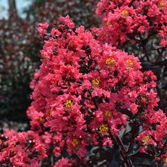 A color breakthrough in the world of crepe myrtles, 'Midnight Magic' develops rich purple foliage that doesn't fade even when heat and humidity skyrockets.