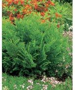 False Hiba Cedar (Thujopsis dolobrata 'Nana') - Monrovia - False Hiba Cedar (Thujopsis dolobrata 'Nana')
