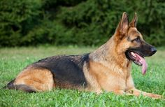 It can be tiresome looking for different Black German shepherd Names. Before naming your dog, keep few things in mind like your dog sex,size,personality etc German Shepherd Names, German Shepherd Puppies, German Shepherds, Guard Dog Breeds, Most Expensive Dog, A Husky, Most Popular Dog Breeds, Schaefer, Cattle Dogs