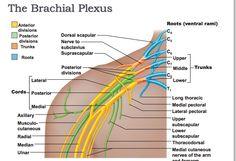 Brachial Plexus Cervical Sympathetic Trunk | Brachial Plexus Nerves