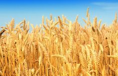 Dear Mother Jones As a nutritionist who also happens to live on a working organic farm I was upset when reading your article Michael Pollan Explains Whats Wrong with the Paleo Diet. by Cynth. Field Wallpaper, Michael Pollan, Mother Jones, Wheat Fields, Health And Fitness Articles, Bad Food, Celiac Disease, Landscape Pictures, Food Waste