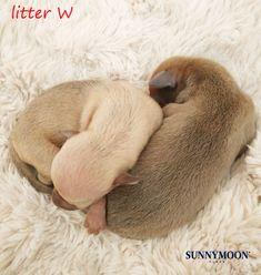 Italian Greyhound Puppies, Animals, Animales, Animaux, Animal, Animais
