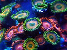 Various Zoanthid Corals Coral Reef Aquarium, Nano Aquarium, Marine Aquarium, Underwater Plants, Underwater World, Saltwater Tank, Saltwater Aquarium, Nano Reef Tank, Nano Cube
