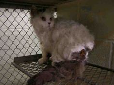 This CAT - ID#A007136  I am a white and gray Persian.  The shelter staff think I am about 3 years old.  I have been at the shelter since Jul 18, 2013.
