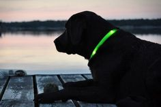 Glowdoggie Lets You Keep An Eye On Your Pooch, Even In The Dark. Perfect for when Boone plays run away at night