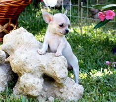 Venta cachorro chihuahua - Criadero Cantillana