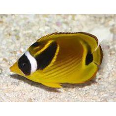 Raccoon Butterflyfish (Chaetodon lunula)