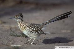 The Greater Roadrunner.... now this is a cool bird to be lucky enough to spot!  I've had two sightings in my life....the first along Interstate 15 on the California side of Vegas and the last just this March in the High Desert of Southern California.