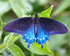 Pipevine Swallowtail or Blue Swallowtail Butterfly (Battus philenor) 🦋. Morpho Butterfly, Blue Butterfly, Beautiful Bugs, Beautiful Butterflies, Beautiful Flowers, Butterfly Photos, Flower Photos, Cool Bugs, Moth Tattoo