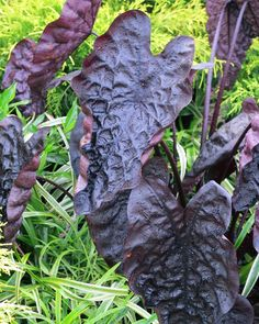 """Colocasia """"Puckered Up"""" Elephant ear plant -"""
