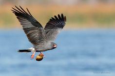 Everglade Snail kite
