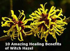 Witch hazel, also known as winterbloom or spotted alder, is actually a flowering shrub common in North America. Witch hazel is cheap and effective. Natural Home Remedies, Natural Healing, Herbal Remedies, Health Remedies, Benefits Of Witch Hazel, Witch Hazel Toner, Health Heal, Best Teeth Whitening, How To Treat Acne