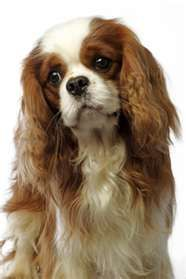 Cavalier King Charles  how can you not love that face