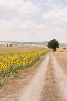 Sunflowers - Val d'Orcia, Siena, Tuscany, Italy