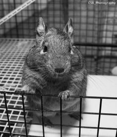 Photograph of my pet Degu Chris Degu, Photography Challenge, Cute, Animals, Cute Pets, Animales, Animaux, Kawaii, Animal