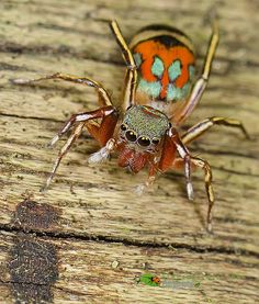 Cool Bugs, Jumping Spider, Beautiful Bugs, Bugs And Insects, Spiders, Creepy, Cool Stuff, Nature, Animals