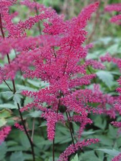 Dazzling rose-pink plumes of Astilbe Serenade sway above lacy deep green foliage in late summer. Young foliage may be tinged with bronze. Ai...