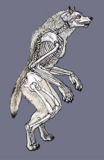 Master Project: Werewolf Anatomy