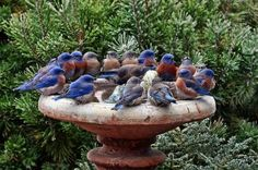 Blue birds -  since bluebirds travel in small groups during the fall and winter, it's very common to find a number of them roosting in a tree cavity or bluebird box left outside, or huddled together on a bird bath like this one.  http://michiganbluebirds.org/bluebird-faqs