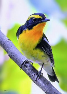 Narcissus Flycatcher (Ficedula narcissina) native to East Asia, through Japan to China -
