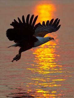 Fish Eagle Sunset